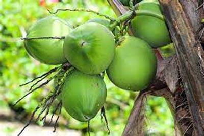 Ufes recebe patente para transformar cascas de coco verde em etanol